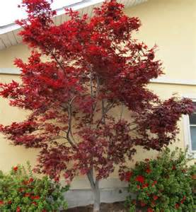types of japanese maples the home depot community