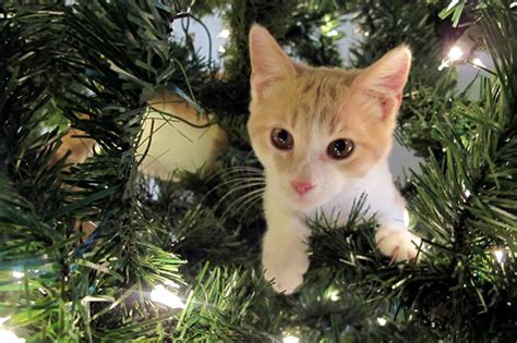 cats and christmas trees a recipe for disaster my pet