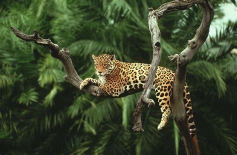 imagenes de jaguar hd jaguar descansando en la rama de un 225 rbol
