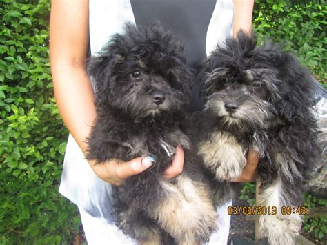 yorkie poodle puppies yorkipoo yorkie poodle yorkiepoo puppies for sale iowa breeds picture