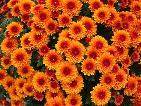 herbstblumen garten herbstblumen f 220 r balkon und garten farmer