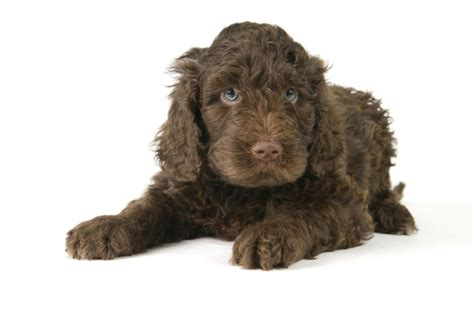 brown labradoodle puppy the gallery for gt brown labradoodle