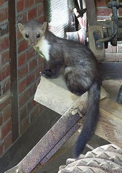 imagenes animal marta martes foina wikipedia la enciclopedia libre
