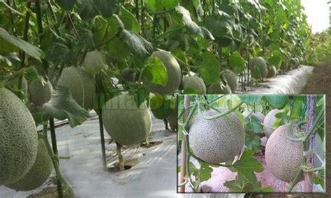 menanam hidroponik melon 12 tips budidaya menanam melon agar berbuah besar dan