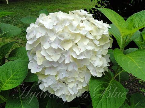 white hydrangeas macrophylla variety rounded flowers hydrangeas blue page 4