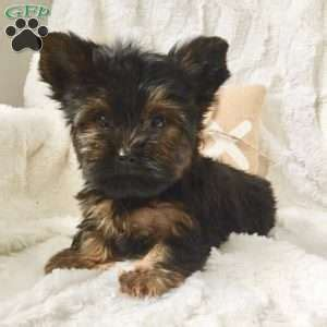 yorkie for sale in pa biewer yorkie puppies for sale in pa