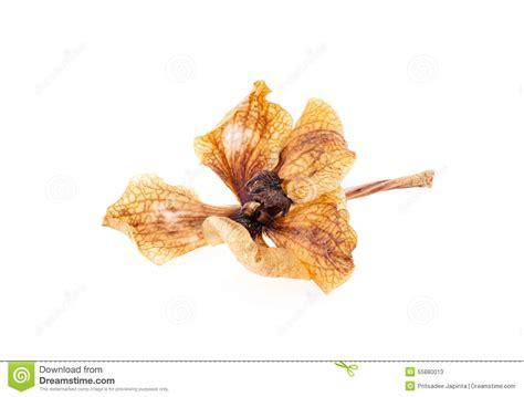 orchidea fiori secchi fiori secchi dell orchidea fotografia stock immagine