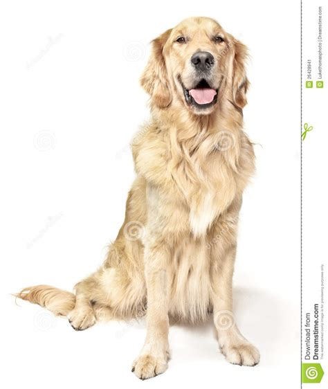 golden retriever sitting sitting golden retriever stock image image of canine 26428941