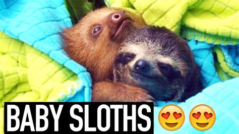 CUTE BABY SLOTHS   YouTube