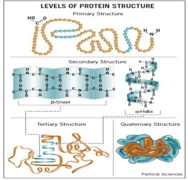 protein quaternary structure protein structure structure of proteins a level