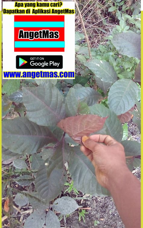 Jual Bibit Daun Ungu bibit tanaman handeulium atau daun ungu anget