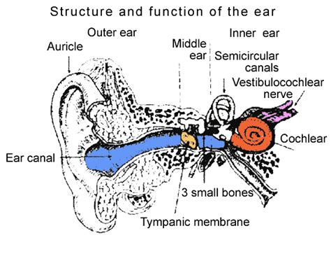 ear diagram and functions structure and function of the ear image search results