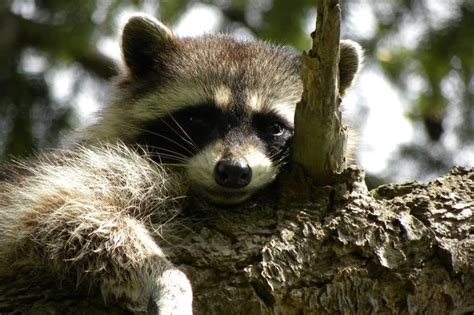 study dog barks instill fear  raccoons slow reproduction upicom