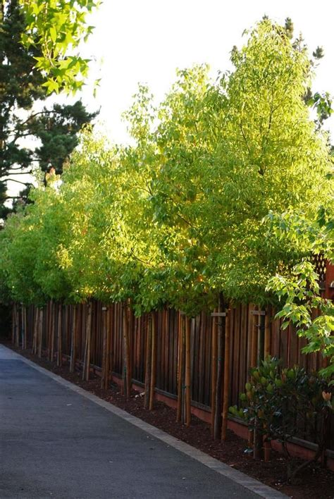 backyard shrubs privacy 37 best garden trees small images on pinterest