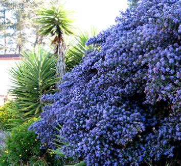 blue sapphire ceanothus zone 8 11 evergreen groundcover
