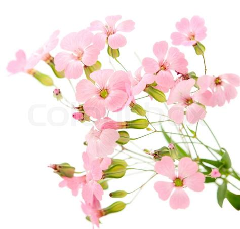 delicate pink flowers on a white background stock photo colourbox