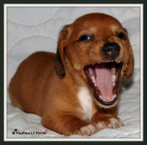 puppies for sale albuquerque miniature dachshund puppies for sale albuquerque merry photo