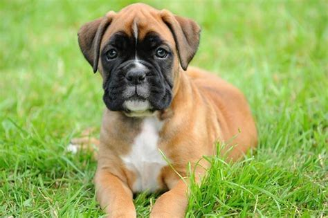 alimentazione boxer boxer femmina cani taglia media caratteristiche