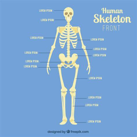 pelvis esqueleto humano frente cibertareas frente esqueleto humano baixar vetores premium