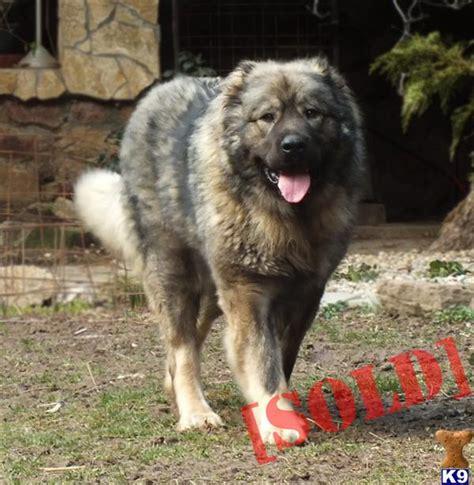 caucasian ovcharka puppies for sale caucasian ovcharka puppies for sale 38819