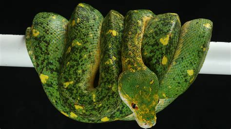 Socrates Gm Finder Southern Chondros