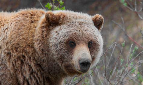 oso pardo informaci 243 n qu 233 come d 243 nde vive c 243 mo nace