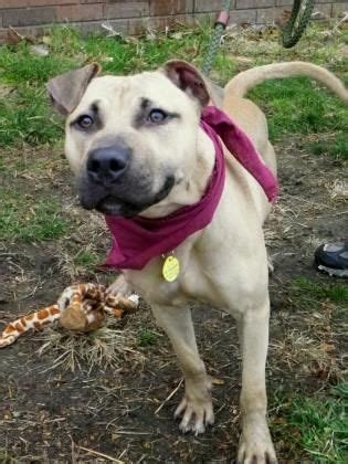 pitbull puppies for adoption in ohio 100 best images about cleveland kennel dogs transferred to rescue on
