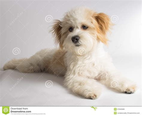small mixed breed puppies white mixed breed with ears stock image image of small adopt 47840989