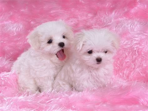 pink puppies two puppies on pink blanket rofl lol lmao