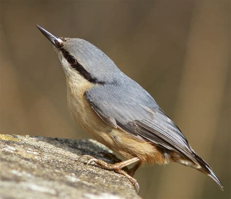 the cowboy birder nuthatch nuthatch and even more nuthatch