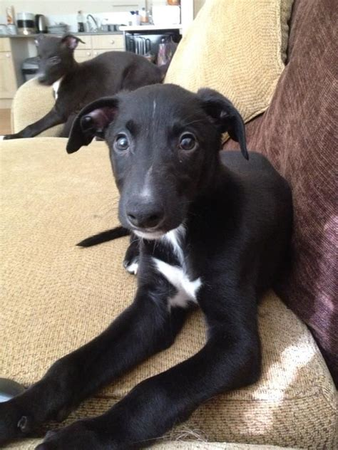 blue greyhound puppies for sale whippet greyhound blue merle puppies for sale godalming surrey pets4homes
