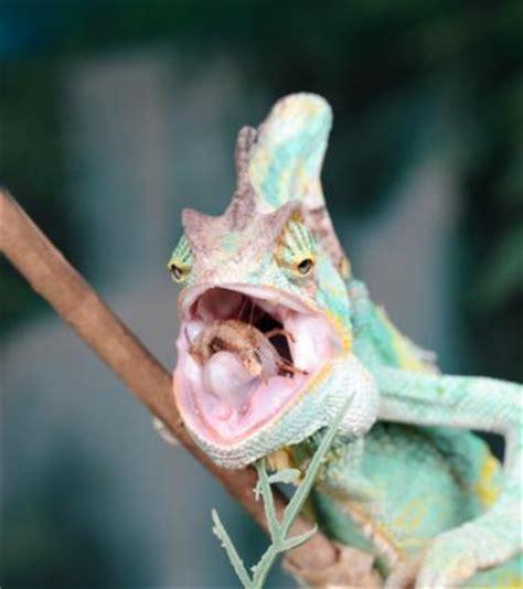 what do bed bugs eat what do chameleons eat lovetoknow