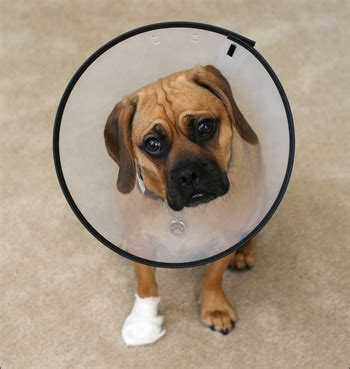 e collar for dogs petsmart elizabethan collar ideas chaz hound forums