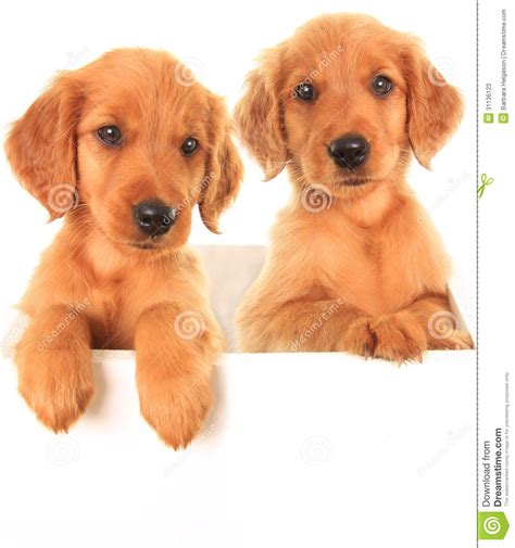 golden retriever setter mix puppies for sale setter poodle mix breeds picture