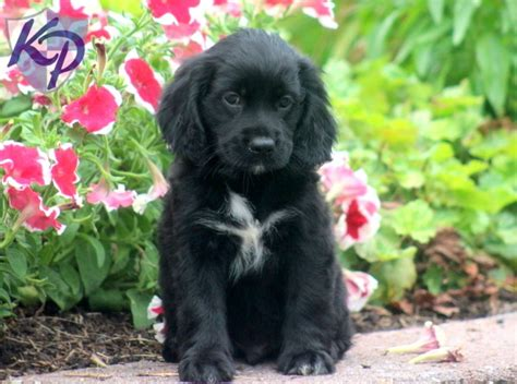 cocker spaniel mix puppies 50 beautiful black cocker spaniel pictures and images