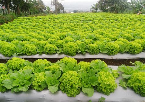 Agribisnis Labu Siam by Berkebun Sayuran Di Atas Batang Pisang Usaha Agribisnis