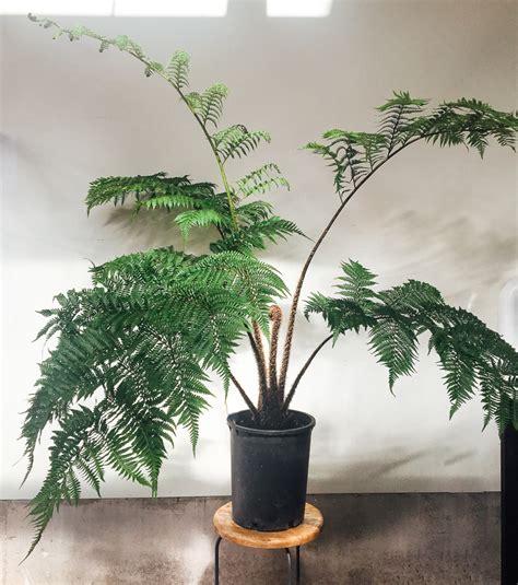 tree fern care how to keep tree ferns as indoor plants pistils nursery