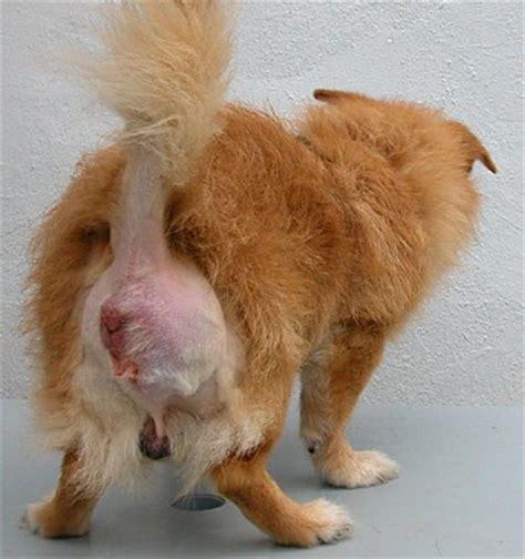 alimentazione gatto castrato ernia perineale nel clinica veterinaria dott