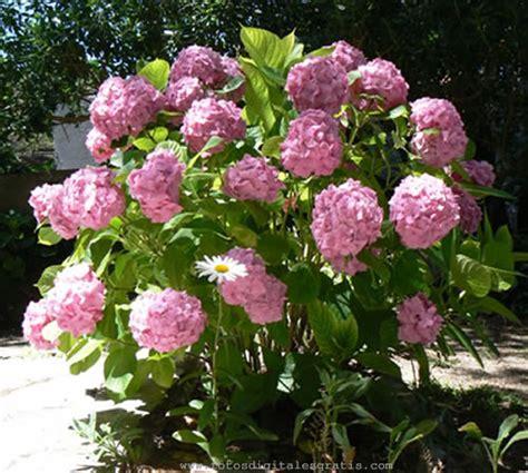 imagenes flores hortensias imagenes flores hortensias flores hortensias color rosa