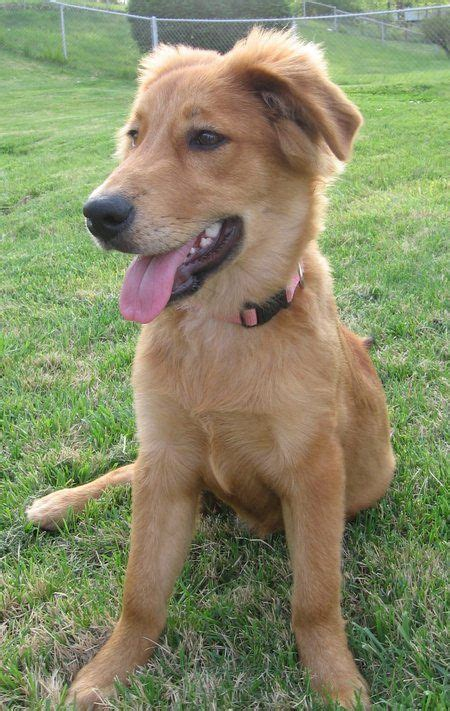 golden retriever collie golden collie border collie x golden retriever mix temperament puppies