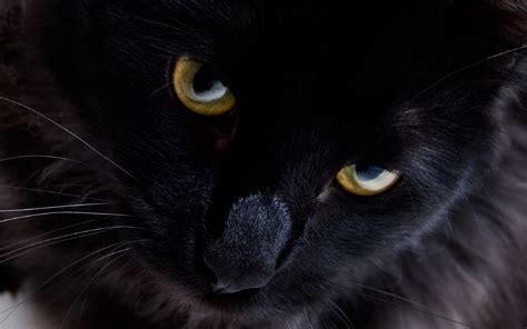 ecco perch 233 i gatti neri non portano sfortuna bigodino