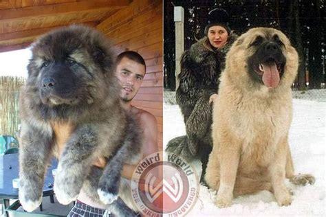 russian puppies russian caucasian mountain animal caucasian mountain dogs