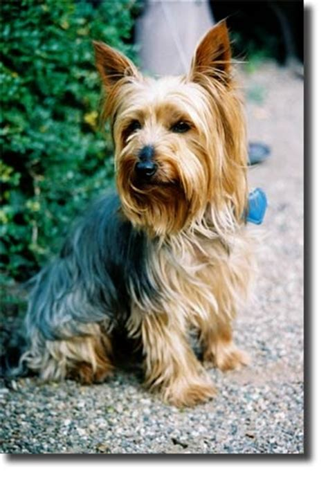 grooming styles for silky terriers yorkshire terrier grooming style images bing images