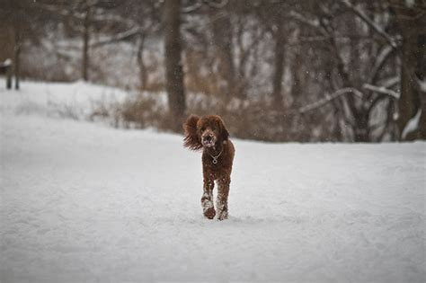 irish setter poodle mix riley irish setter poodle mix flickr photo sharing
