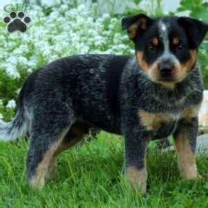 blue heeler puppies for sale in pa blue heeler puppies for sale greenfield puppies