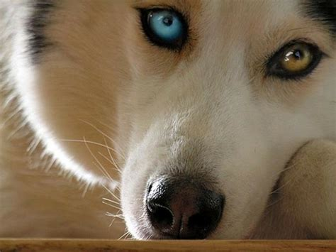 heterochromia in dogs heterochromia in dogs causes classification breeds pictures different eye colors