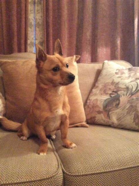 pomeranian chihuahua for sale pomeranian chihuahua for sale portsmouth hshire pets4homes