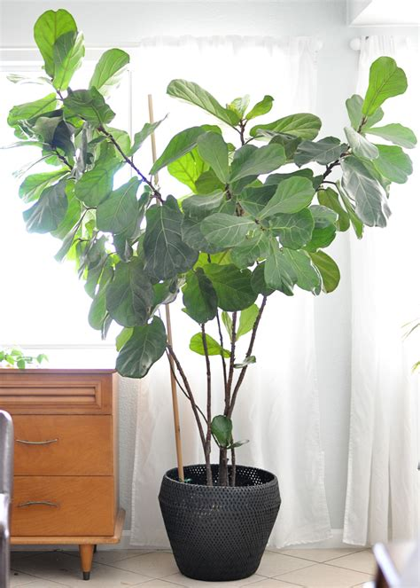 fiddle leaf fig houseplant week fiddle leaf fig real life on purpose
