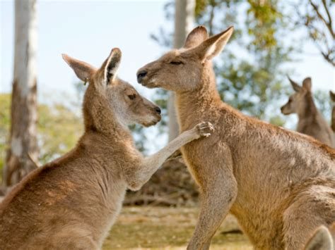 imagenes del canguro jack m 225 s informaci 243 n sobre el canguro informacion sobre animales