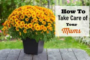 Flowers To Grow Inside - how to take care of your mums indoors and out
